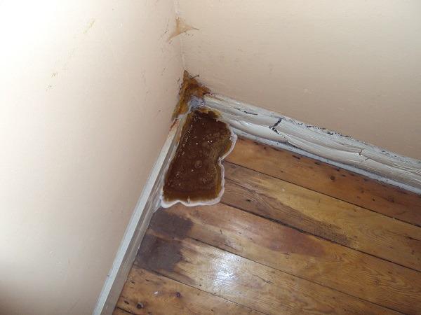 Serpula lacrymans ou mérule, champignon dans le coin d'un mur